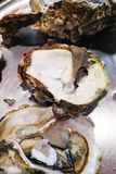 Fresh oysters in a white plate with ice and lemon stock photography