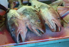 Fresh Pacific Cod on Ice Stock Images
