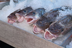 Fresh Pacific Cod Stock Photography