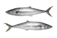Fresh Pacific king mackerels or Scomberomorus fish isolated on w Stock Image