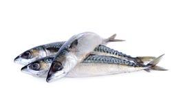 Fresh pacific mackerel fish on white background Royalty Free Stock Photos