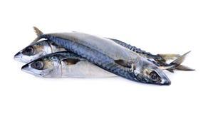 Fresh pacific mackerel fish on white background Stock Image