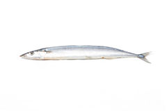 Fresh Pacific Saury. Stock Image