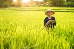 Fresh paddy rice in farm Stock Images
