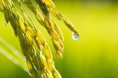 Fresh paddy rice in farm Royalty Free Stock Images