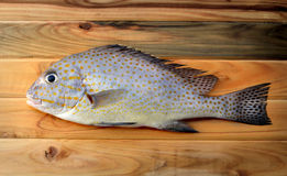 Fresh painted sweetlip fish from market. On wood in sunlight Royalty Free Stock Photo