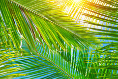 Fresh palm leaves background. Fresh green palm leaves background, bright sun light through exotic foliage, beauty of tropical nature, summer vacation concept Stock Photos