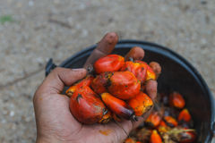 Fresh palm oil fruit Royalty Free Stock Photography