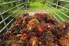 Fresh palm oil fruit Stock Photos