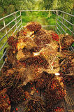 Fresh palm oil fruit from truck. Royalty Free Stock Photos