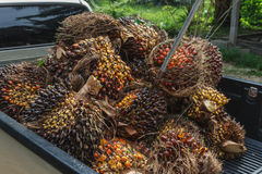 Fresh palm oil fruit Royalty Free Stock Images