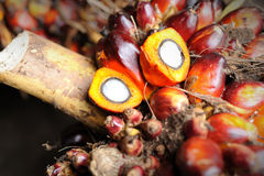 Fresh Palm Oil seeds Stock Photos