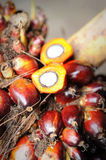Fresh Palm Oil seeds Stock Photo
