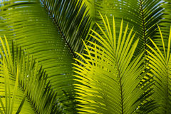 Fresh palm tree leaves Royalty Free Stock Photography