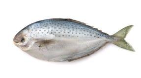 Fresh pampanito fish Royalty Free Stock Photo