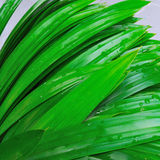 Fresh pandan leaves bi-toei Royalty Free Stock Photo