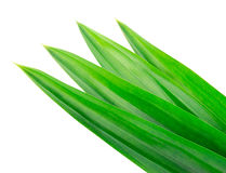 Fresh Pandan leaves on white background Stock Photos