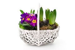 Fresh pansies and hyacinths Royalty Free Stock Photo