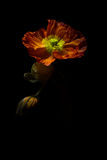 Fresh papaver poppy Royalty Free Stock Photography