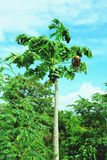 Fresh papaya fruits royalty free stock photography