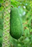Fresh papaya fruits. Fresh green papaya fruits on the tree royalty free stock images