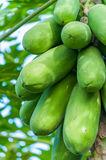 Fresh papaya tree. With bunch of fruits Stock Photography
