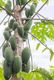 Fresh papaya tree with bunch of fruits Stock Photos
