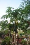 Fresh papaya tree with bunch of fruits. Fresh papaya tree  bunch of fruits Royalty Free Stock Images