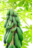 Fresh papayas Royalty Free Stock Photo