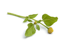 Fresh paracress plant Royalty Free Stock Photography