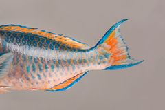 Fresh Parrotfish tail .