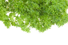 Fresh parsley Royalty Free Stock Photos