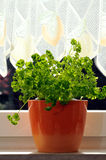 Fresh parsley. Pot with parlsey on a window sill Royalty Free Stock Photos