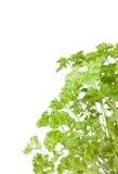 Fresh  parsley Stock Photo