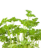 Fresh parsley Stock Images