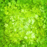 Fresh parsley background Royalty Free Stock Image