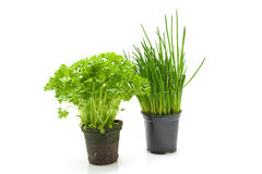 Fresh parsley and chives in pot Stock Photo