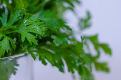 Fresh parsley Stock Image