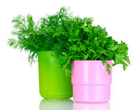 Fresh parsley and dill in cups Royalty Free Stock Photography