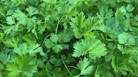 Fresh parsley stock video