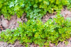 Fresh parsley in the garden, growing in rows. close-up. field, farm, growing herbs stock photo