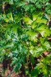 Fresh parsley growing Stock Photography