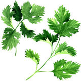 Fresh parsley herb leaves isolated, watercolor illustration on white stock images