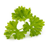 Fresh parsley herb leaves isolated on white background. Royalty Free Stock Photos