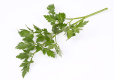 Fresh Parsley Leaf Royalty Free Stock Photos