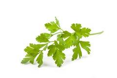 Fresh parsley leaf Stock Image