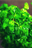 The fresh parsley leaves with drops of dew Stock Photos