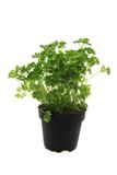 Fresh parsley leaves - green herbs Royalty Free Stock Photography