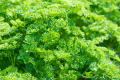 Fresh parsley leaves Royalty Free Stock Photo