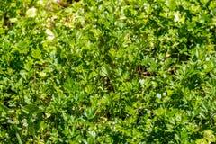 Fresh parsley Royalty Free Stock Images